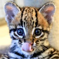 This Ocelot Kitten Met His Best Friend, Blakely the Dog, at the Zoo—Watch Their Adorable Playdate!