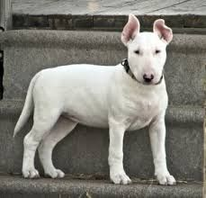 Image result for bull terrier