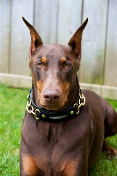 Very handsome, and love the collar! #Doberman