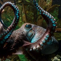 A well-loved octopus named Inky escaped recently from the National Aquarium in New Zealand.///YEA, INKY!!! TAKE THAT HUMANS!!RH