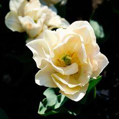 Boston Public Garden, Garden S, White Flowers, Rose, Plants, Pink, Roses, Plant, Planting