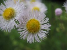 Flower That Looks Like A Daisy