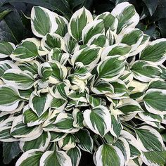 """Hosta """"Patriot"""" - Color: Dark green leaves with wide pure white edges / Tall lavender flowers Mature Height: Up to tall x up to wide Sun / Shade: Partial Sun to Full Shade Bloom Time: Mid-summer Hardiness Zones: 3 - 9 Hosta Plants, Foliage Plants, Garden Plants, Spring Perennials, Flowers Perennials, Spring Flowering Bulbs, Spring Plants, Color Lavanda, Gardens"""