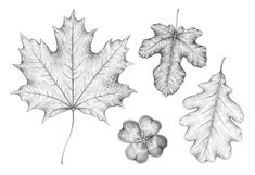 How to Draw a Leaf Step by Step by Eugenia Hauss, Learn different shapes of leaves and how to draw them. Discover how to draw four types: a maple leaf, an oak leaf, a fig leaf, and a four-leaf clover. Ant Drawing, Leaf Drawing, Nature Drawing, Drawing Trees, Tree Drawings Pencil, Easy Drawings Sketches, Tree Drawing Simple, Leaves Sketch, Beautiful Symbols