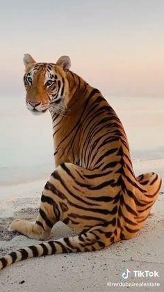 The Animals, Cute Wild Animals, Cute Little Animals, Funny Cute Cats, Cute Funny Animals, Tiger Pictures, Animal Pictures, Beautiful Cats, Animals Beautiful