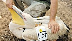 An Israel Nature and Parks Authority inspector attaching a SIM card to a pelican in November 2012.