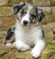 australian shepherd one of my favorite dogs