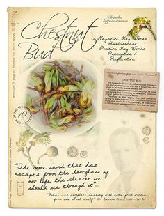 Bach flower remedy white chestnut bach flowers pinterest cerato bach flower remedy for uncertainty lack of intuition and exploitattion to encourage intuition mightylinksfo Choice Image