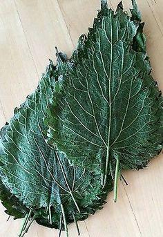 50 Brennesselblätter getrocknet und gepresst für Krebse und Garnelen