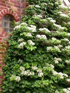 Hydrangea petiolaris, Climbing Hydrangea. Mine is only a couple of years old, I can't wait for it to look more like this.