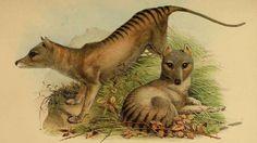 ¿El tigre de Tasmania sigue vivo? El misterioso animal extinto 'aparece' en un…