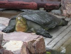 Yangtze softshell turtle critically endangered