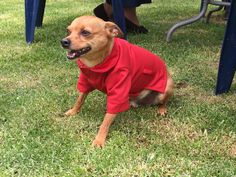 Beautiful red jacket for dogs, by lucky d sign! The most elegant dog brand I know.