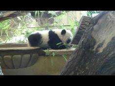 Panda faceplant