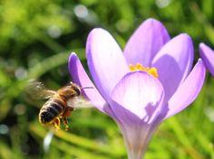 Signes Vals: Bierne og blomsterne