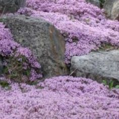 Creeping Thyme. Put in planter. Natural mosquito repellent.