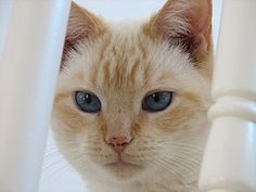 Love flame point Siamese. Looks like my Lily.