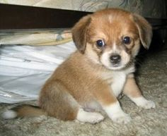 Beagle and a Pomeranian. My future pet. It's a beagle that stays small forever!