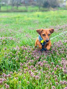 Weenie Dogs, Dachshund Puppies, Cute Puppies, Short Haired Dachshund, Dog Days, Oakley, Dog Food Recipes, Photoshoot, Park