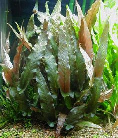 barclaya longifolia Aquarium Aquascape, Planted Aquarium, Aquascaping Plants, Nature Aquarium, Aquarium Ideas, Freshwater Aquarium Plants, Freshwater Fish, Big Fish Tanks, Tetra Fish