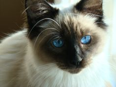 Beautiful Seal Point, Balinese!  Looks just like my cat, Blue.