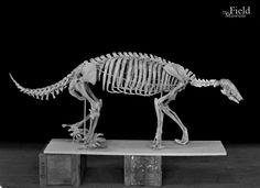 Fossil Friday, ground sloth. © The Field Museum, GEO80227_A. Skeleton of extinct ground sloth. Pliocene, Argentina, Catamarca. Hall 38 Case 37.  8x10 negative  7/12/1943