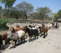 Unser Leder kommt ausschließlich von Ziegen aus Freilandhaltung, die primär zur Fleischgewinnung gezüchtet werden.