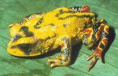 Le crapaud doré ou crapaud de Monteverde (Bufo periglenes) est un petit crapaud de la famille des bufonidés vivant au Costa Rica Pas un seul spécimen de crapaud doré n'a été aperçu depuis 1989.