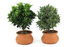 "S/2 10"" Euonymus Plants, Live on OneKingsLane.com"