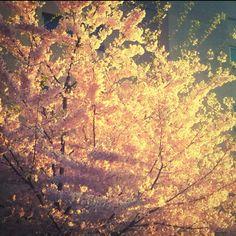 Cherry blossoms + sunset