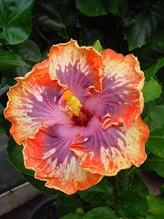 Rare Orange Purple Hibiscus Seeds Giant Dinner Plate Fresh Flower Garden Exotic Hardy Flowering Perennial  Tropical *3-4 * by ToadstoolSeeds on Etsy