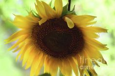 Sunflower 3 by Camelia C Sunflower Flower, Framed Prints, Canvas Prints, Abstract, Floral, Nature, Artwork, Flowers, Plants