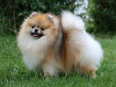 pomeranian sheepdog photo   Altre Razze Cani