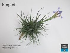 All art is an imitation of nature. Air Plants, Garden Plants, Indoor Plants, Organic Water, Sun Crafts, Turquoise Walls, Low Light Plants, Low Maintenance Plants, Cactus