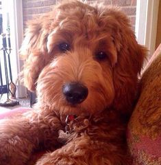 A Goldendoodle. I WANT a Goldendoodle right this minute! Chien Goldendoodle, Goldendoodles, Labradoodles, Cockapoo, Cute Puppies, Dogs And Puppies, Cute Dogs, Baby Animals, Funny Animals