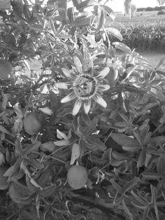 La flor de Mburucuyá