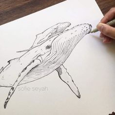 Humpback whale and calf - ink illustration by Sofie Seyah