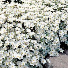 Has flowers all summer. Outdoor Gardens, Container Gardening, Flowers, Cottage Garden, Perennials, Moon Garden, Dream Garden, Planting Flowers, White Gardens