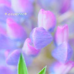 #ルピナス#Lupine#flower