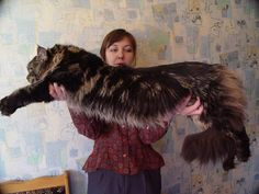 Maine Coon- the gentle giant of the domestic cat world! --my sister's cat is part maine coon. I Love Cats, Big Cats, Crazy Cats, Cool Cats, Cats And Kittens, Huge Cat, Pretty Cats, Beautiful Cats, Animals Beautiful