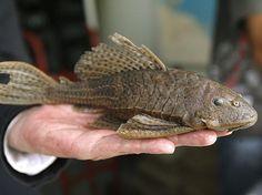 A nova espécie de peixe de água doce foi descoberta no rio de Caquetá, afluente do Amazonas na Colômbia Foto: EFE