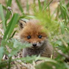 Cute Funny Animals, Cute Baby Animals, Felt Animals, Animals And Pets, Baby Red Fox, Baby Foxes, Fuchs Baby, Wolf Pictures, Pet Fox