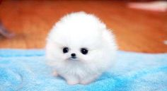 Teacup Pomerainian. It's so poofy and tiny!