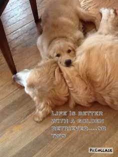 Life is better with goldens