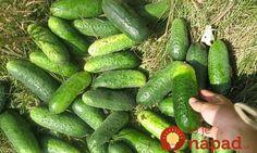 Trik, vďaka ktorému budú mať tento rok uhorky, tekvice a zeler omnoho viac plodov! Cucumber, Flora, Pergola, Gardening, Vegetables, Vegetable Gardening, Permaculture, Composters, Garten