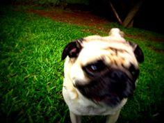 Pug.    Like, repin, share! :)