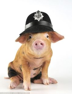 Here come the pigs: This porky poser , a two-week-old Oxford sandy, had no problem wearing a police hat
