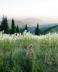 I keep coming back to this bear grass field to sit and listen