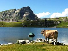 Melchsee-Frutt Das Hotel, Spa, Swimming, Mountains, Vacation, Cows, Nature, Animals, Travel