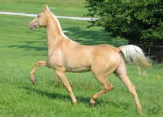 The American Saddlebred is a horse breed from the United States. Descended from riding-type horses bred at the time of the American Revolution, the American Saddlebred includes the Narragansett Pacer, Canadian Pacer, Morgan and Thoroughbred among its ancestors.